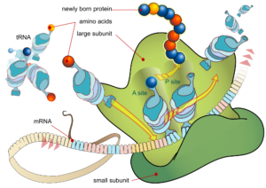 2000px-ribosome_mrna_translation_en